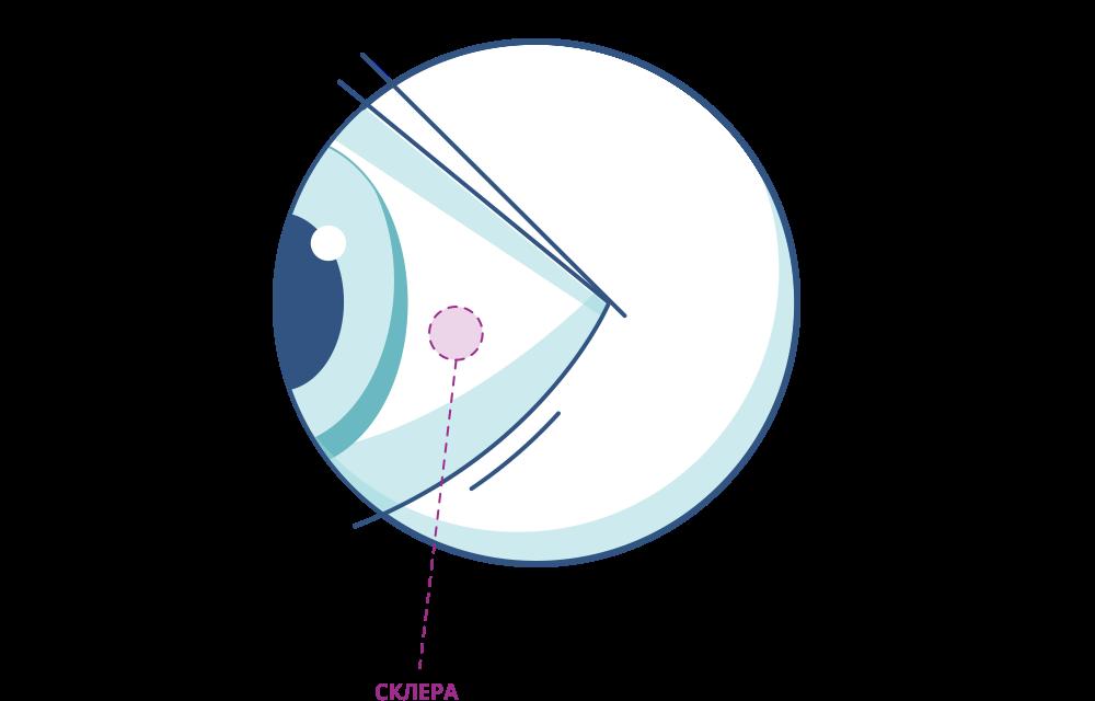 Строение глаза: наружная оболочка (склера)